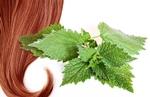 Рецепт приготовления отвара крапивы для ополаскивания волос